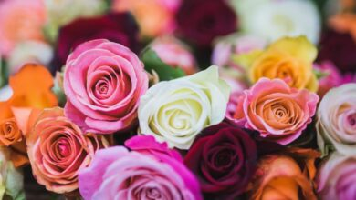 Colors of Rose Flowers and their Meanings